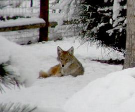 bckyrd_coyote271x225