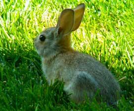bunny271x225