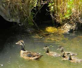 ducks1-271x225
