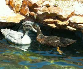ducks2-271x225