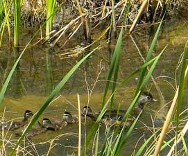 ducks3-271x225
