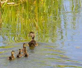 ducks4-271x225