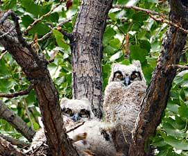 owls271x225