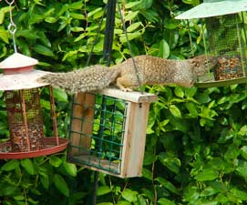 squirrel-eating271x225