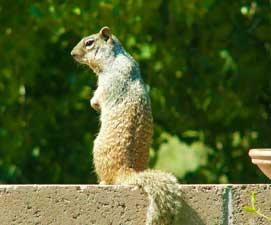 squirrel-wall271x225