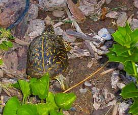 turtle271x225